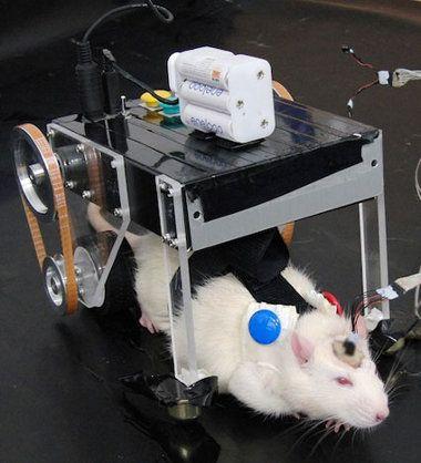 Científicos locos implantan un cerebro de cyborg en una rata