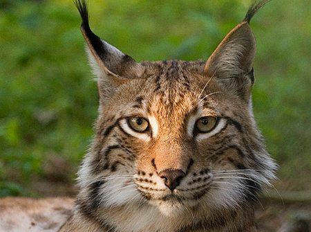 OS X 10.9 podría ser llamado Lynx