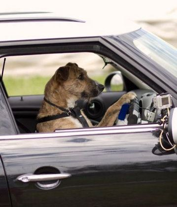 En Nueva Zelanda incluso los perros saben conducir